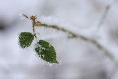 Raspberry green leaves covered with frost , close-up view Stock Image