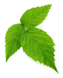 Raspberry green leaves isolated on white background. Royalty Free Stock Image