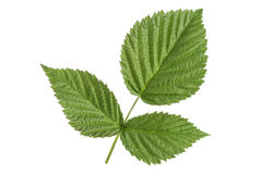 Raspberry green leaves isolated on white. Background Royalty Free Stock Photos