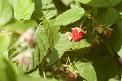 Raspberry growing Stock Images
