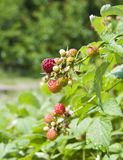 A raspberry growing on a bush Stock Images