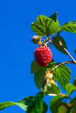 A raspberry growing on a bush against blue sky Royalty Free Stock Photo