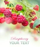 Raspberry. Growing Organic Berries. Art Design Royalty Free Stock Photos