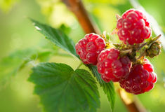 Raspberry Growing Royalty Free Stock Image
