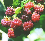 Raspberry. Growing Organic Berries closeup. Ripe  in the fruit garden Royalty Free Stock Photos