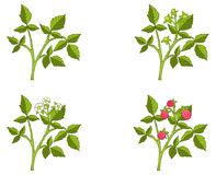 Raspberry growth phases Stock Image