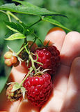 Raspberry in hand. Red raspberry in woman hand Royalty Free Stock Images