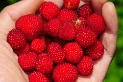 Raspberry in hand. Raspberry in woman hand isolated on green Royalty Free Stock Photos
