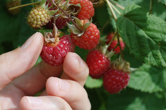Raspberry with hand. Young woman's hand harvests raspberries Stock Images