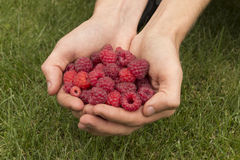 Raspberry in hands Stock Images