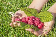 Raspberry in the hands of. Beautiful ripe raspberries in children's hands Royalty Free Stock Photos