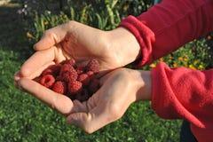 Raspberry harvesting Stock Photography