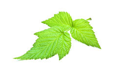 Raspberry leaf Royalty Free Stock Photos