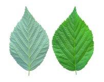 Raspberry leaf. Royalty Free Stock Photography