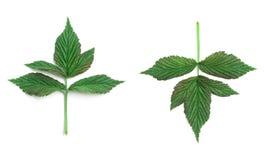 Raspberry leaf Royalty Free Stock Photos