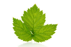 Raspberry leaf Stock Photography