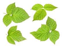 Raspberry leaf Stock Photography