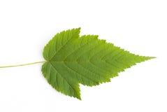 Raspberry leaf Stock Photo