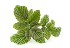 Raspberry leaf closeup Stock Photos