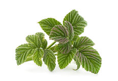Raspberry leaf closeup Royalty Free Stock Image