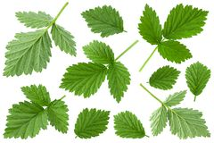 Raspberry leaf closeup on white Royalty Free Stock Images