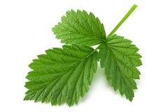 Raspberry leaf closeup on white. Raspberry fruit leaf closeup  on white background Royalty Free Stock Image
