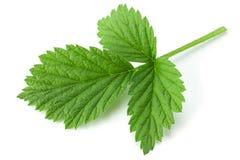 Raspberry leaf closeup on white. Raspberry fruit leaf closeup isolated on white background Stock Image