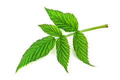Raspberry leaf Royalty Free Stock Photography