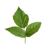 Raspberry Leaf isolated on white Royalty Free Stock Photo