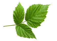 Raspberry leaf isolated Stock Images