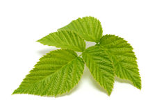 Raspberry leaf royalty free stock image