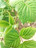 raspberry leaf stock image