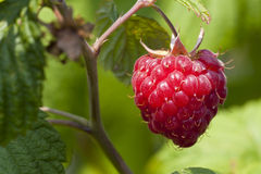 Raspberry with leaf Stock Photography