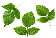Raspberry leaf set Royalty Free Stock Photo