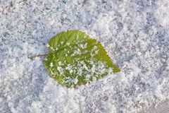 Raspberry leaf in snow freshness cold frosty background close-up. Green raspberry leaf in snow freshness cold frosty background close-up stock photo