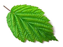 Raspberry leaf on white Stock Images
