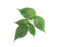 Raspberry leaf on white background with light shad Stock Photo