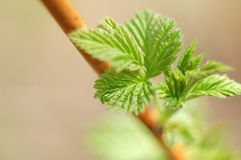 Raspberry leaves. Royalty Free Stock Images