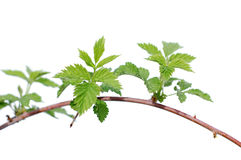 Raspberry leaves. Spring blossoming of leaves of a raspberry stock photos