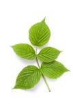 Raspberry leaves Stock Photography