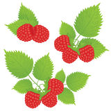 Raspberry and leaves Stock Photography