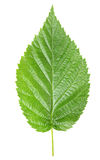 Raspberry leaves Stock Image