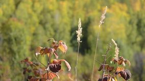 Raspberry leaves in autumn swaying wind. Raspberry leaves and ears of cereals in autumn swaying wind stock footage