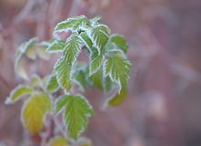 Raspberry leaves covered with frost Royalty Free Stock Photography