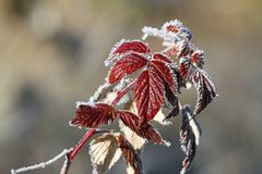 Raspberry leaves covered with rime Royalty Free Stock Photography