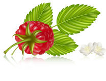 Raspberry with leaves and flowers. Photorealistic  illustration. Raspberry with leaves and flowers Stock Image