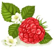 Raspberry with leaves and flowers stock illustration