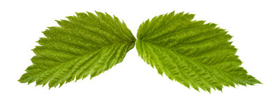 Raspberry leaves Royalty Free Stock Image