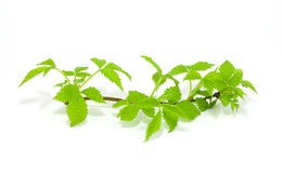 Raspberry leaves isolated on white Stock Image