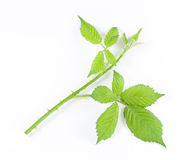Raspberry leaves isolated on white background Stock Photos